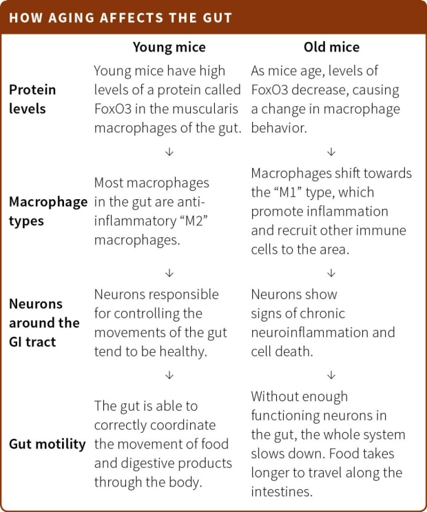 How aging affects the gut
